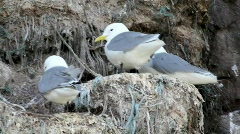 Kittiwakes Stock Footage
