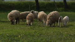 Grazing sheep and lambs Stock Footage