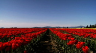 Stock Video Footage of tulips field