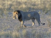 Stock Video Footage of male lion walking NTSC