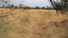 Cheetah Running Along Stock Footage