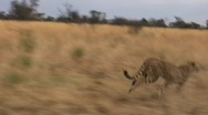 Stock Video Footage of Cheetah Running Along