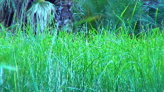 Thrasher amongst cattail in a pond Stock Footage