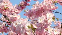 Cherry blossom Stock Footage