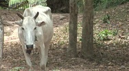 Stock Video Footage of Cambodian cow