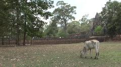 Cow in field outside Angkor Wat Stock Footage