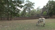 Stock Video Footage of Cow in field outside Angkor Wat