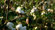 Cotton Field in Rural Tennessee Stock Footage