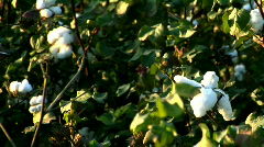 Stock Video Footage of Cotton Field in Rural Tennessee