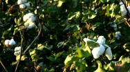 Stock Video Footage of Cotton 6 - 1920x1080 HD