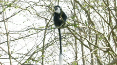 Swing Tree Colobus Monkey  - stock footage