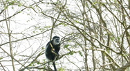 Stock Video Footage of Swing Tree Colobus Monkey