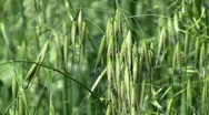 Stock Video Footage of Oat field