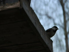 Black Capped Chickadee Stock Footage