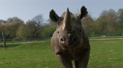 Rhinoceros Retreat RHINO Close-Up - stock footage