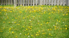 Field of Grass and Dandelions Weeds - stock footage