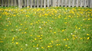 Field of Grass and Dandelions Weeds Stock Footage