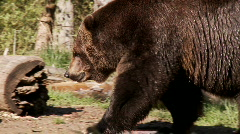 Brown bear (nuzzle) Stock Footage