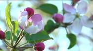 Apple Tree Flowers Stock Footage