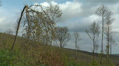 Bent over chestnut tree in the wind Stock Footage