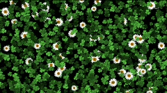 Clover and daisy field animation with alpha Stock Footage