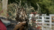 Stock Video Footage of screech owl