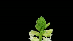 Time-lapse growing white hyacinth Christmas flower 3 with ALPHA matte Stock Footage