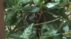 Baby Robins Feeding Stock Footage