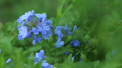 Plumbago Close-up 01 - stock footage
