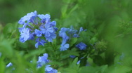 Plumbago Close-up 01 Stock Footage