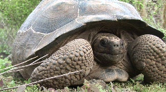 Lonesome George Galapagos Tortoise - stock footage
