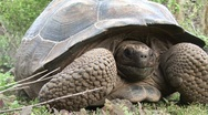 Stock Video Footage of Lonesome George Galapagos Tortoise