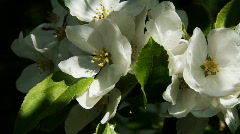 Apple blossoms 05 Stock Footage