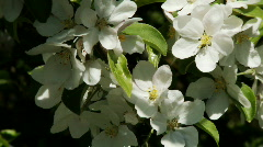 Apple blossoms 03 Stock Footage