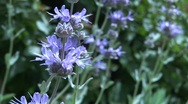 beautiful purple and green live lavender plants Stock Footage