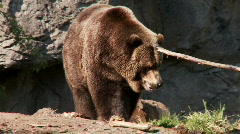 brown bear - stock footage