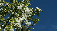Apple blossoms Stock Footage