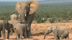Elephants - stock footage