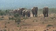Big herd of elephants walking towards camera Stock Footage