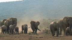 Big group elephants arriving - stock footage