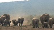 Stock Video Footage of Big group elephants arriving