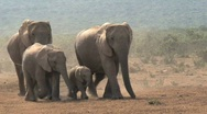 Stock Video Footage of Elephants