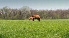Mother horse and her foal grazing on meadow Stock Footage