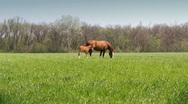 Stock Video Footage of Mother horse and her foal grazing on meadow