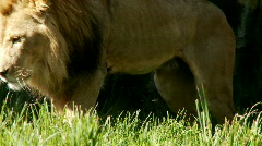 lion - stock footage