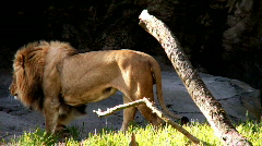 Lioness and lion Stock Footage
