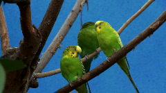 Parakeets aka budgies Stock Footage