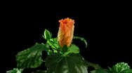 Stock Video Footage of Time-lapse of orange hibiscus flower opening 5 with ALPHA matte