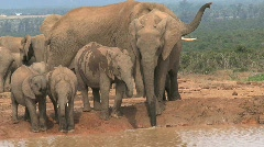 Elephants at a waterpool Stock Footage