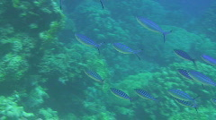 Shoal of Suez fusiliers Stock Footage
